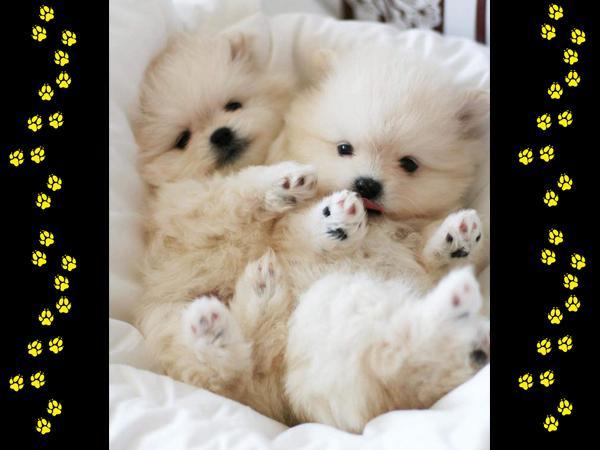 Allevamento italiano SEMINOLES - Monzuno - I nostri cuccioli provengono da selezion - Subito Impresa+